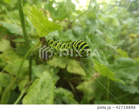 キアゲハの幼虫 42718888
