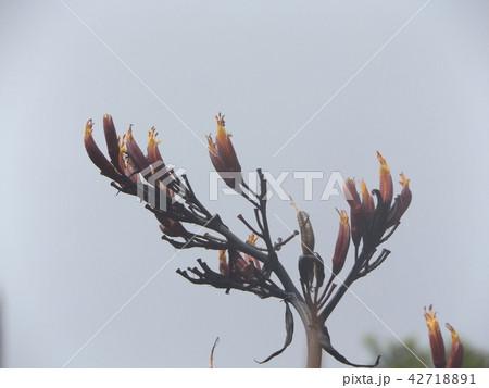 青空にニューサイランのオレンジ色の花 42718891