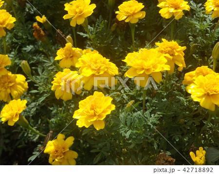 初夏から秋まで咲くマリーゴールドの黄色い花 42718892