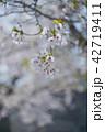 桜 花 植物の写真 42719411