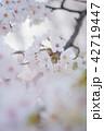 桜 花 植物の写真 42719447