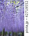藤 花 植物の写真 42719552