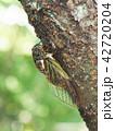 クマゼミ セミ 昆虫の写真 42720204
