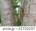 クマゼミ セミ 昆虫の写真 42720207