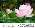 蓮の花 42720538