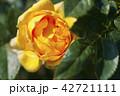 花 お花 フラワーの写真 42721111