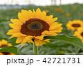 向日葵 ひまわり 花の写真 42721731