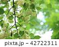 シナノキの花 42722311