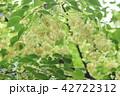 シナノキの花 42722312