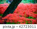 (埼玉県日高市)巾着田のヒガンバナ 42723011