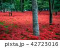 (埼玉県日高市)巾着田のヒガンバナ 42723016
