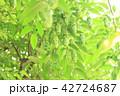 クマシデ 42724687