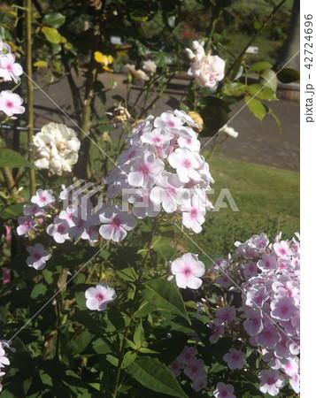 フロックス パニキュラータの薄紫の花 42724696