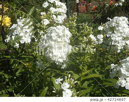 フロックス パニキュラータの薄紫の花 42724697