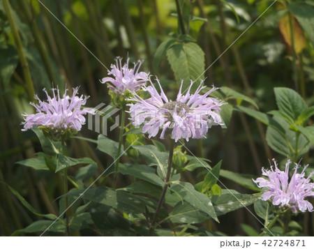 夏を彩るモナルダの白い花 42724871