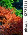 楓 秋 もみじの写真 42725311