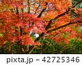 楓 秋 もみじの写真 42725346