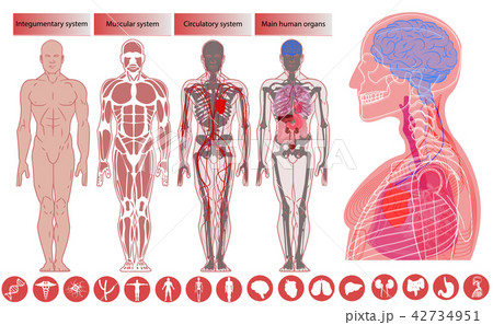 Human body anatomy, Medical Education.  42734951