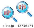 肝臓 腎臓 臓器のイラスト 42736174
