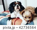 ユニオンジャック柄のソファにくつろぐ二匹の犬 42736564