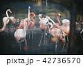 フラミンゴ 喧嘩 鳥の写真 42736570