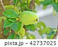 植物 果物 果実の写真 42737025