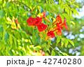 植物 花 ノウゼンカズラの写真 42740280