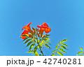 植物 花 ノウゼンカズラの写真 42740281