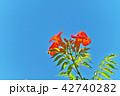 植物 花 ノウゼンカズラの写真 42740282