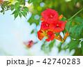 植物 花 ノウゼンカズラの写真 42740283