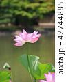 白水阿弥陀堂の古代ハス(福島県・いわき市) 42744885