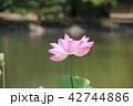 白水阿弥陀堂の古代ハス(福島県・いわき市) 42744886