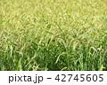 米 稲穂 秋の写真 42745605