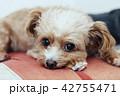 チワプー 動物 屋内の写真 42755471