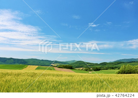北海道 青空の広大な大麦畑 42764224