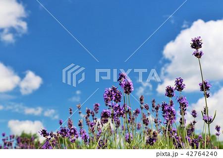 北海道 青空のラベンダー畑 42764240