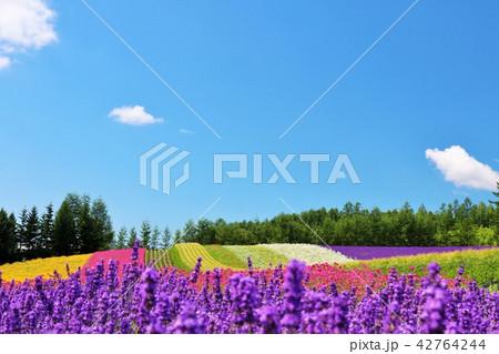 北海道 夏の青空と彩りの花畑 42764244
