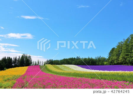北海道 夏の青空と彩りの花畑 42764245