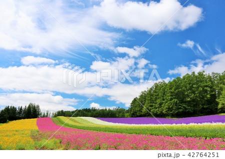 北海道 夏の青空と彩りの花畑 42764251
