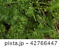 芋虫 キアゲハ 幼虫の写真 42766447