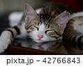 猫 子猫 動物の写真 42766843