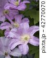 クレマチス お花 フラワーの写真 42770070