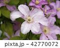 クレマチス お花 フラワーの写真 42770072