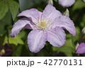 クレマチス お花 フラワーの写真 42770131