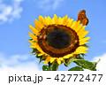 ヒマワリとミツバチ 42772477