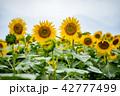 ひまわり 向日葵 ひまわり畑の写真 42777499