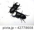 夏休みの研究 オオクワガタ 42778608