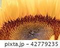 向日葵 ひまわり 花の写真 42779235