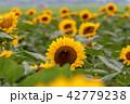 向日葵 ひまわり 夏の写真 42779238