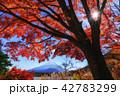 富士山 秋 紅葉の写真 42783299